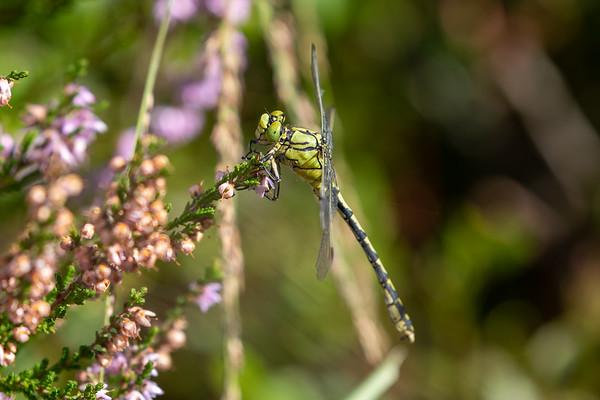 Green Snaketail, Grøn kølleguldsmed, Ophiogomphus cecilia, male