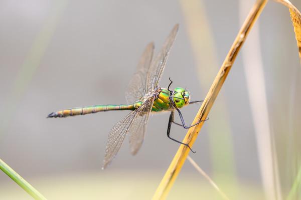Brilliant Emerald, Glinsende smaragdlibel, Somatochlora metallica, male