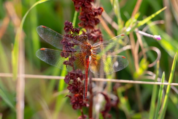 Gulvinget hedelibel, Sympetrum flaveolum, Yellow-winged Darter, male