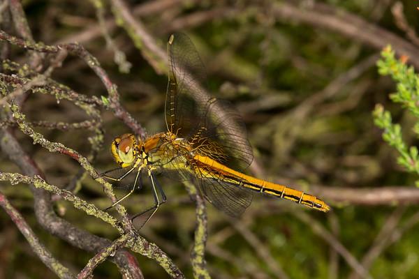 Gulvinget hedelibel, Sympetrum flaveolum, Yellow-winged Darter. Female.