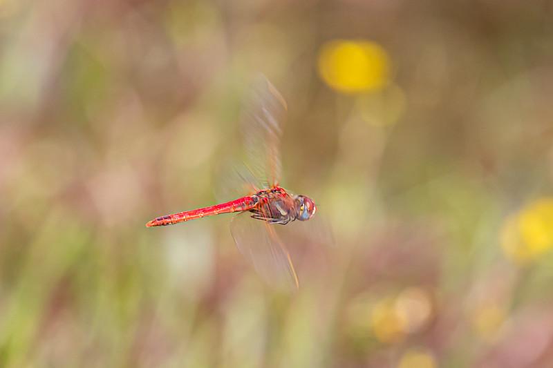 Red-Veined Darter, Rødåret hedelibel, Sympetrum fonscolombei, male