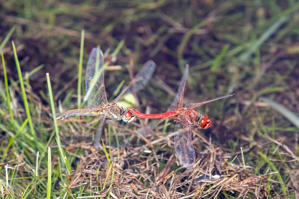 Red-Veined Darter, Rødåret hedelibel, Sympetrum fonscolombii, male and female