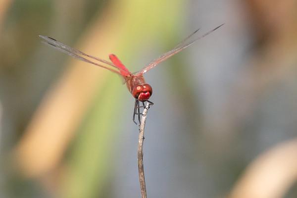 Red-Veined Darter, Rødåret hedelibel, Sympetrum fonscolombii, male