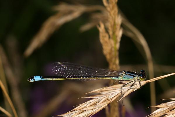 Ischnura elegans, stor farvevandnymfe, male