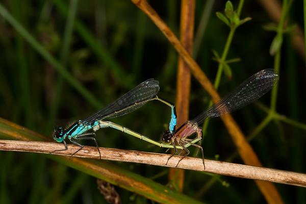 Ischnura elegans, stor farvevandnymfe