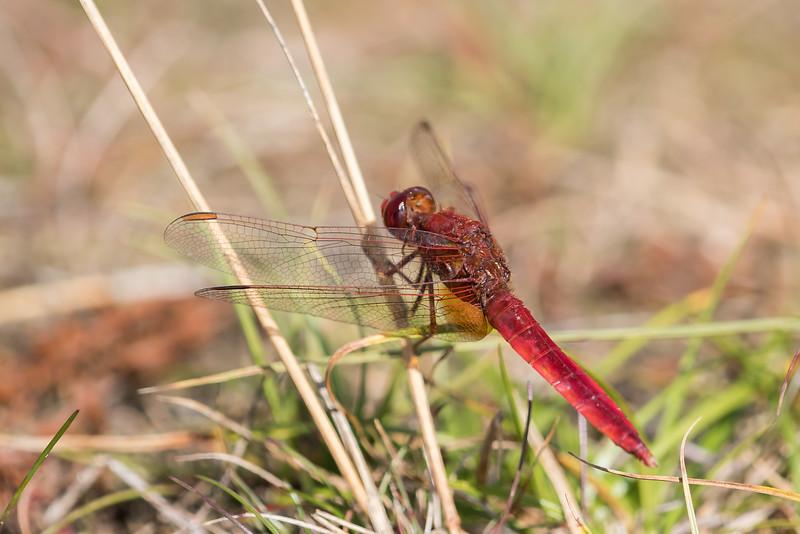 Crocothemis erythraea, Flammelibel, male