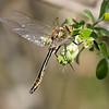 Cordulia aenea, Grøn smaragdlibel