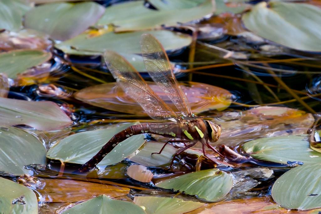 Aeshna grandis, Brown Hawker, Brun mosaikguldsmed. Female.