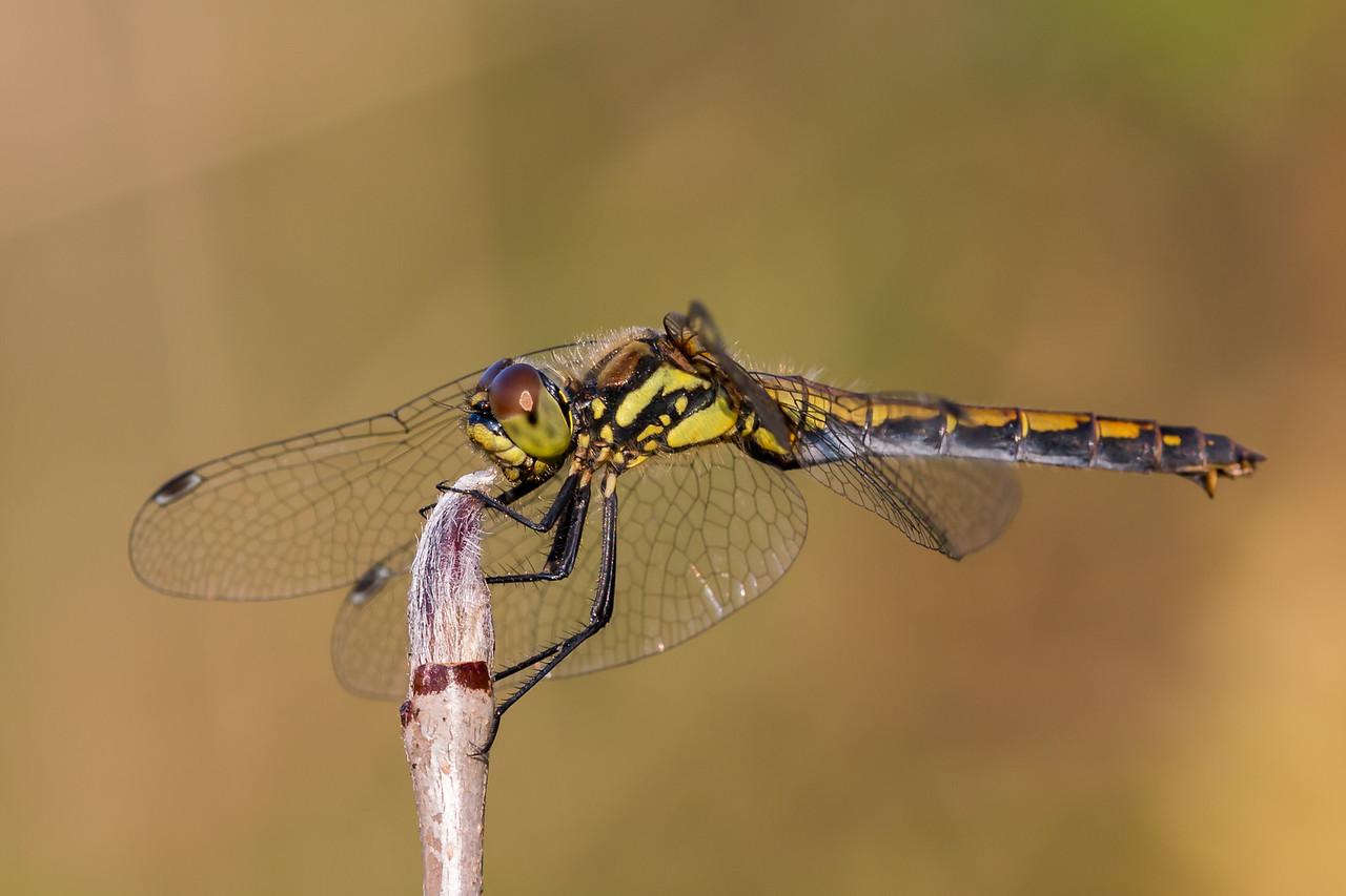 Black darter, Sort hedelibel, Sympetrum danae. Female.