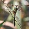 Cordulia aenea, Downy Emerald, Grøn smaragdlibel. Male.