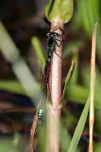 Coenagrion Armatum, Hue-vandnymfe. Male.