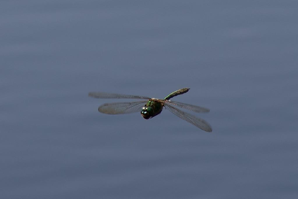 Brilliant Emerald, Glinsende smaragdlibel, Somatochlora metallica. Male.