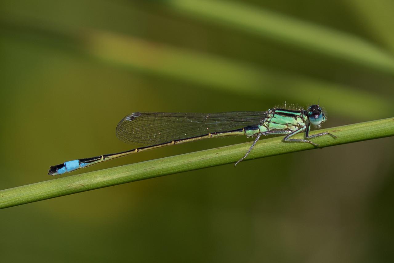 Common Bluetail, Ischnura elegans, stor farvevandnymfe