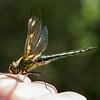 Cordulia Aenea, Grøn smaragdlibel, female