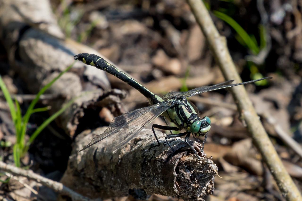 Almindelig flodguldsmed, Common Clubtail, Gomphus vulgatissimus. Male.