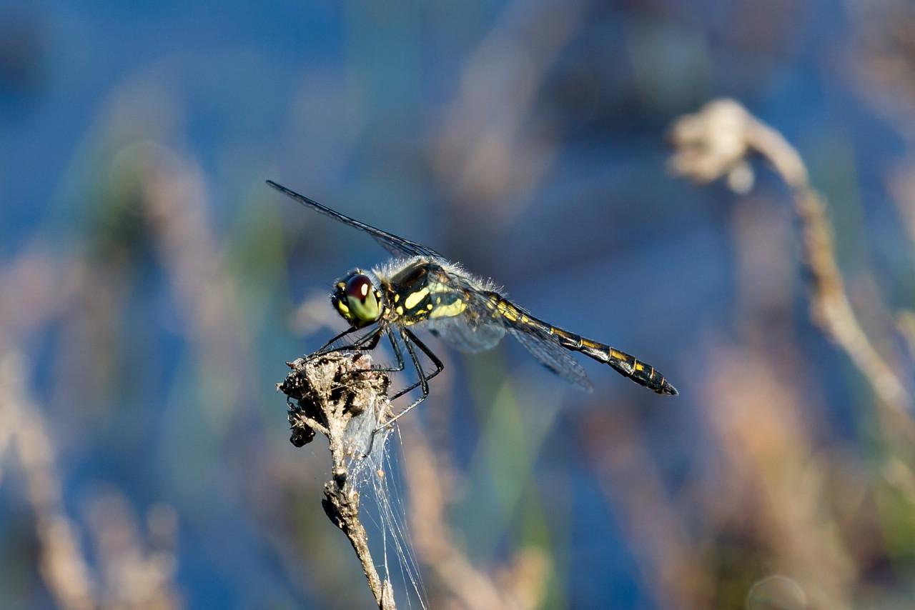 Black Darter, Sort hedelibel, Sympetrum danae. Male.