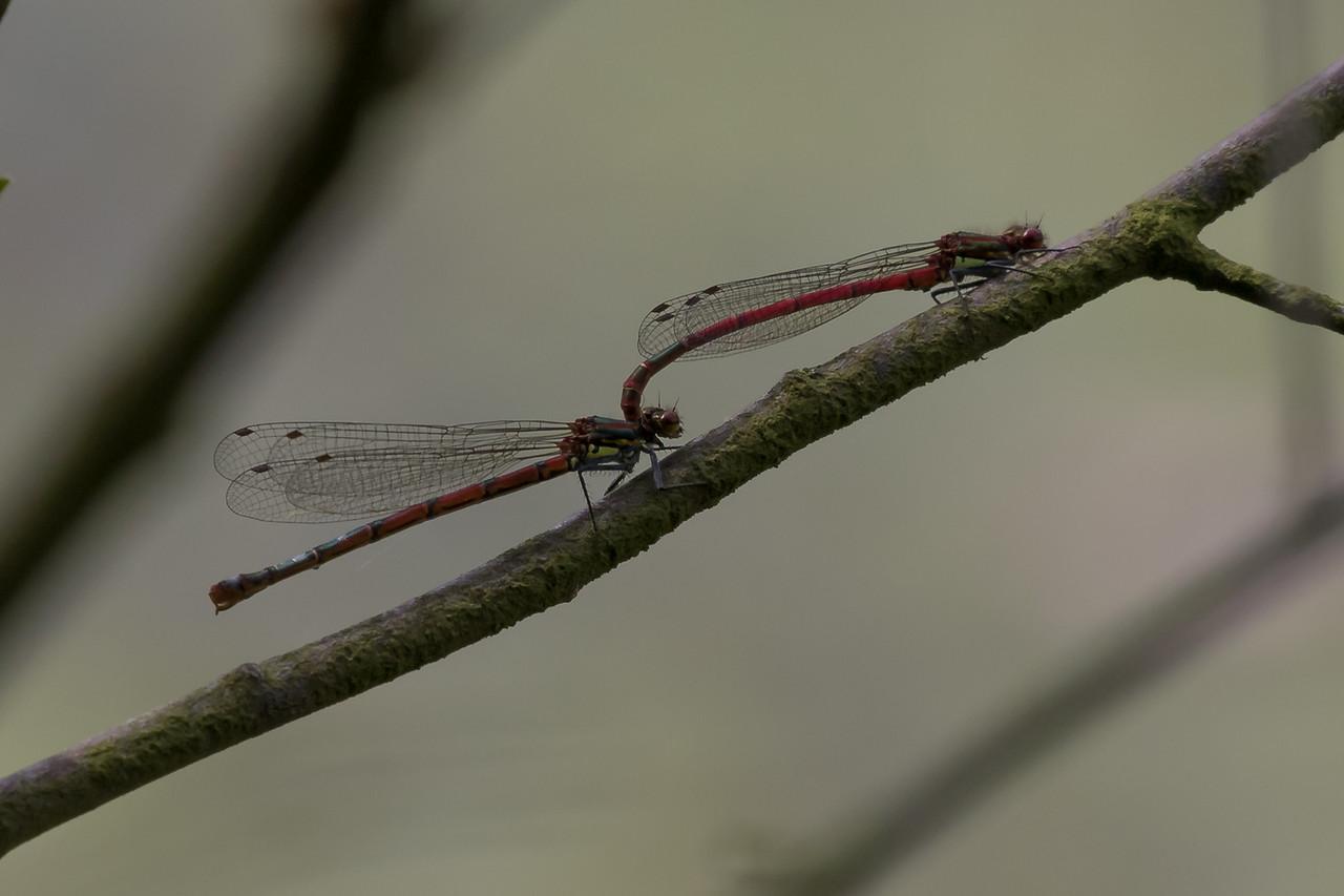 Pyrrhosoma Nymphula, Rød vandnymfe.