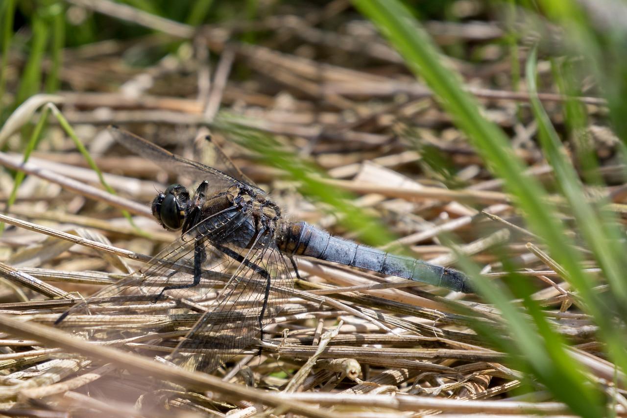 Black-tailed Skimmer, Orthetrum cancellatum, Stor blåpil. Male.