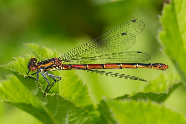 Pyrrhosoma Nymphula, Rød vandnymfe. Female.