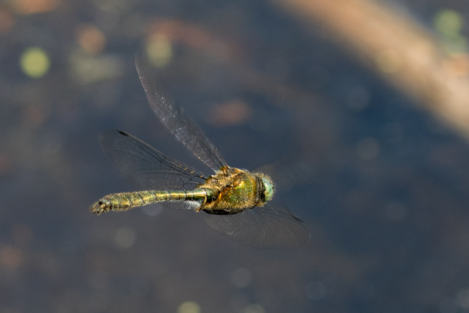 Cordulia aehnea, Grøn smaragdlibel.