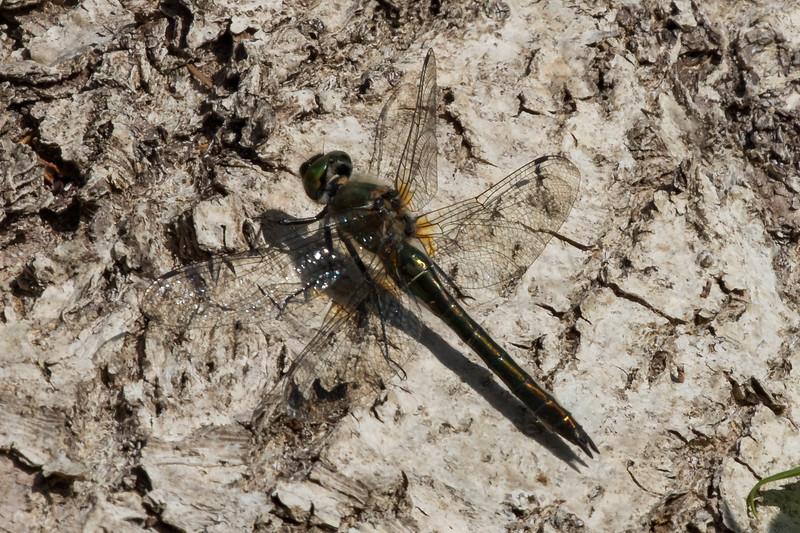Cordulia aenea, Downy Emerald, Grøn smaragdlibel. Female.