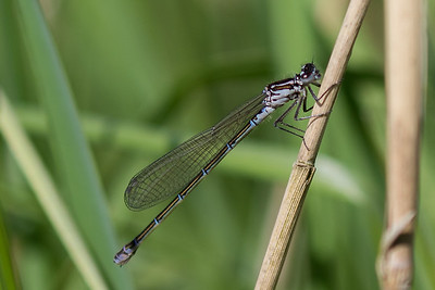 Coenagrion Pulchellum, Flagermusvandnymfe. Female.