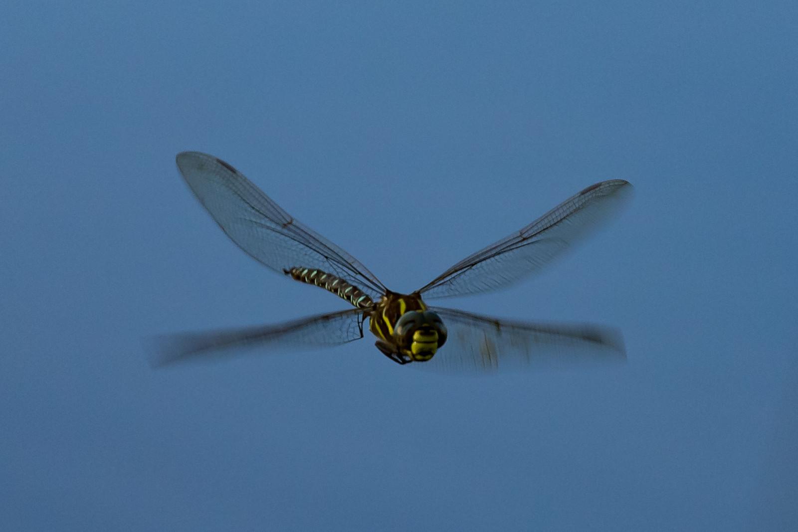 Aeshna juncea, Sivmosaikguldsmed, Moorland Hawker. Male.