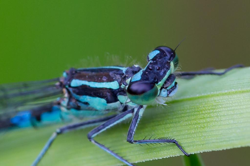 Coenagrion pulchellum, Flagermusvandnymfe, Variable Bluet. Female.