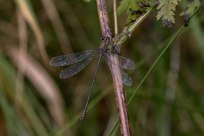 Chalcolestes viridis, Grøn kobbervandnymfe, Western Willow Spreadwing, male.