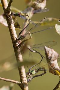 Chalcolestes viridis, Grøn kobbervandnymfe, Western Willow Spreadwing, male.