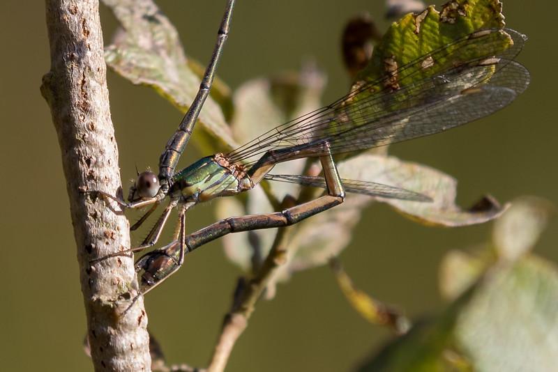 Chalcolestes viridis, Grøn kobbervandnymfe, Western Willow Spreadwing, male and female.