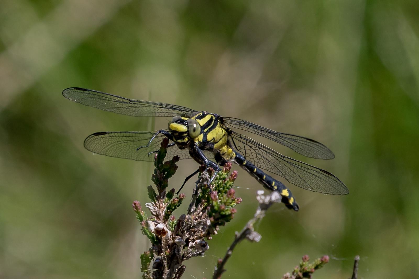 Almindelig flodguldsmed, Common Clubtail, Gomphus vulgatissimus, male.