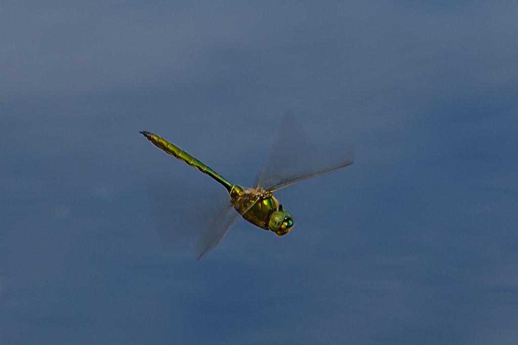 Brilliant Emerald, Glinsende smaragdlibel, Somatochlora metallica, male.
