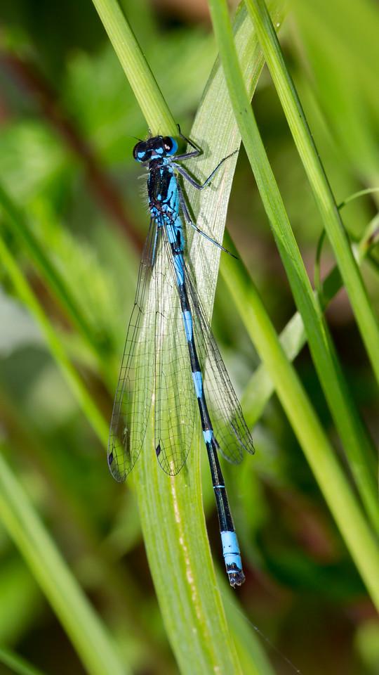 Coenagrion pulchellum, Flagermusvandnymfe, Variable Bluet, male.