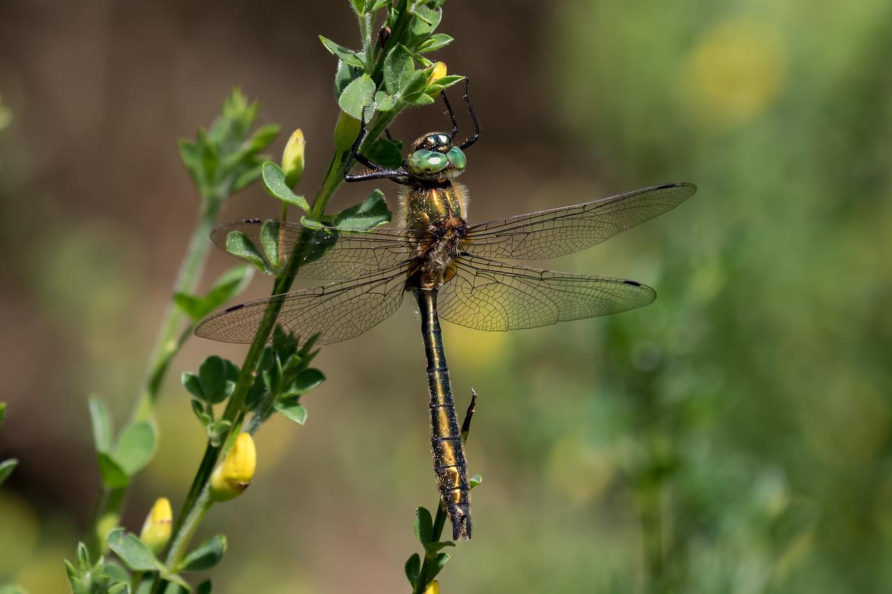 Grøn smaragdlibel, Cordulia aenea, Downy Emerald, male.