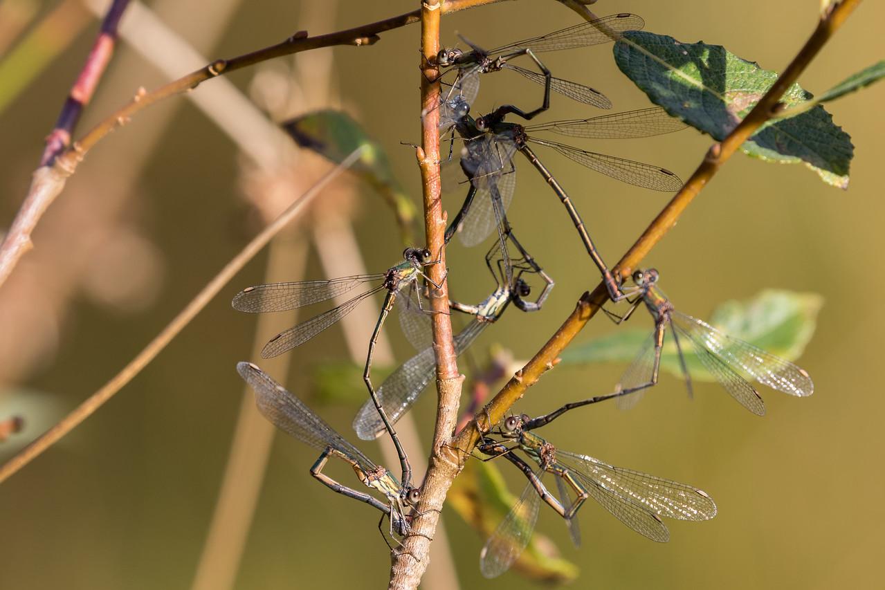 Chalcolestes viridis, Grøn kobbervandnymfe, Western Willow Spreadwing, males and females.