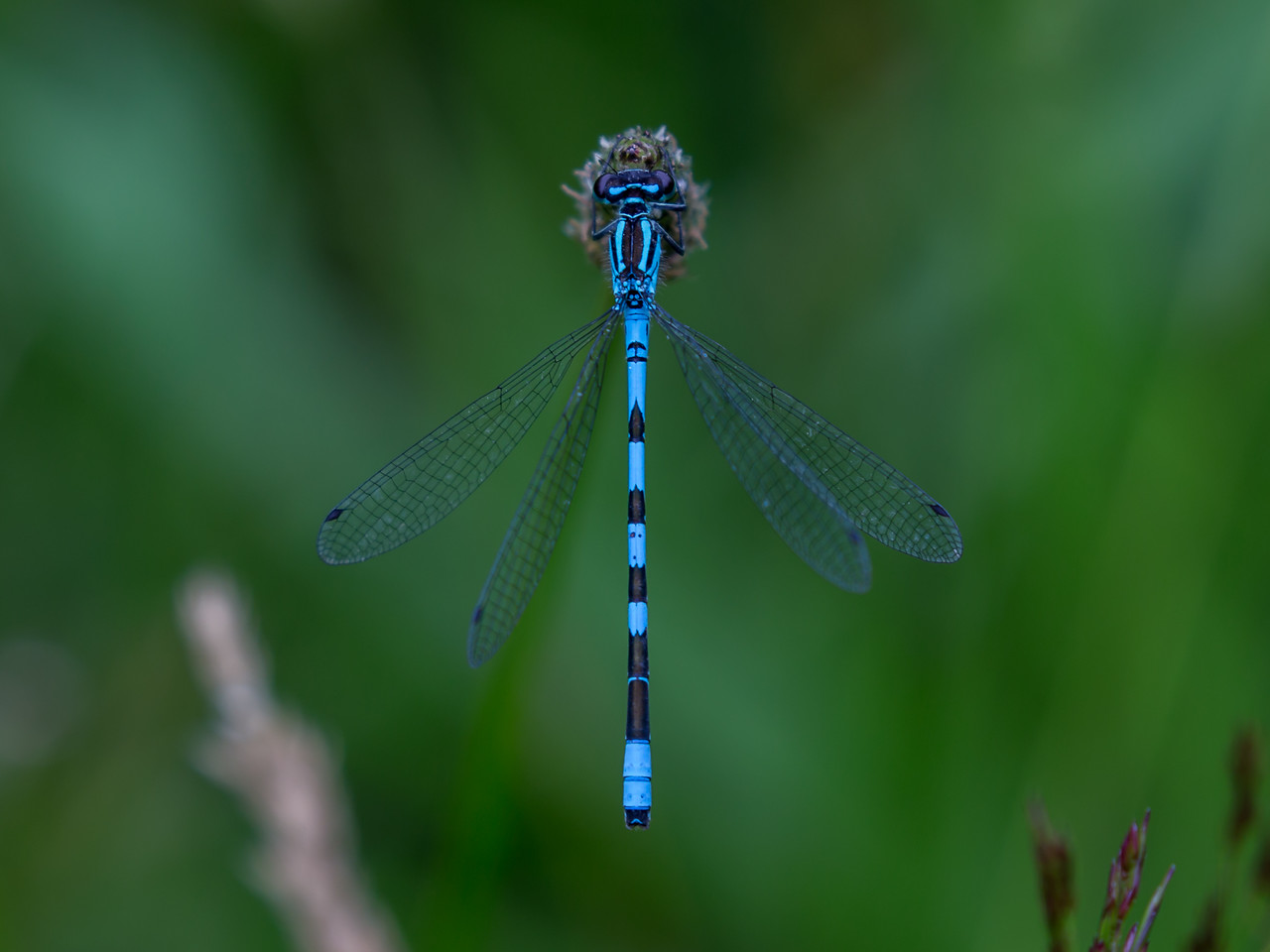 Coenagrion Hastulatum, Spydvandnymfe, Spearhead Bluet, male.