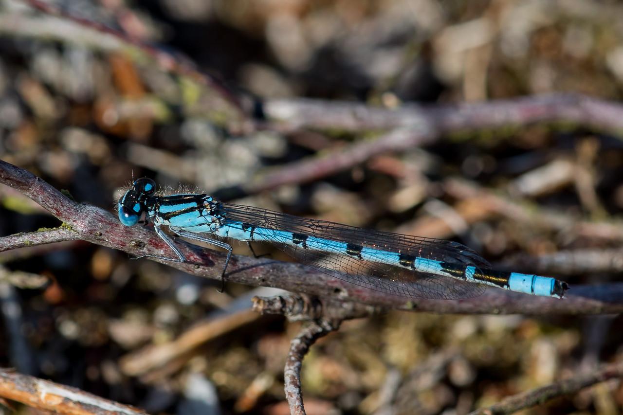 Almindelig vandnymfe, Common Bluet, Enallagma cyathigerum, male.