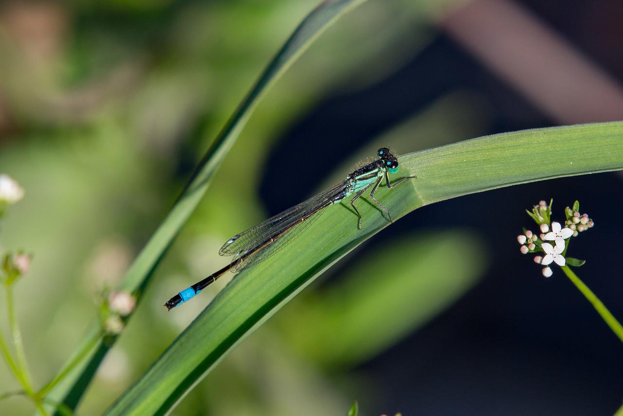 Common Bluetail, Ischnura elegans, stor farvevandnymfe, male.