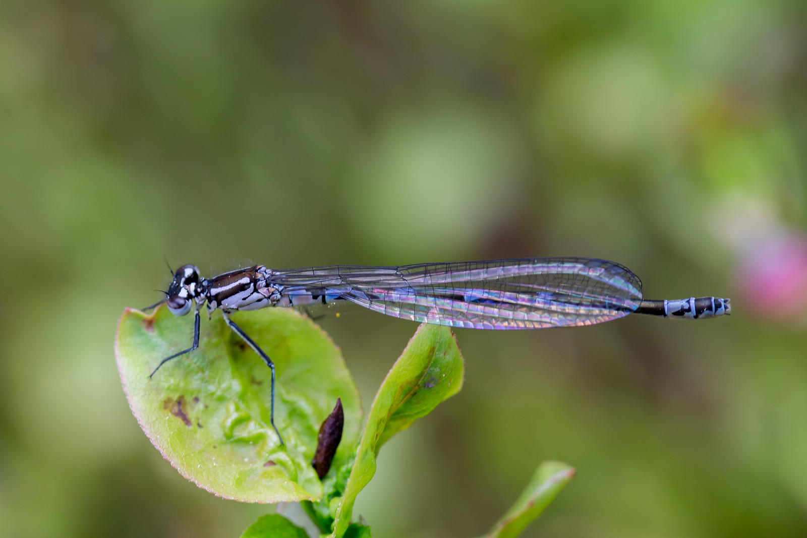 Coenagrion pulchellum, Flagermusvandnymfe, Variable Bluet, female.
