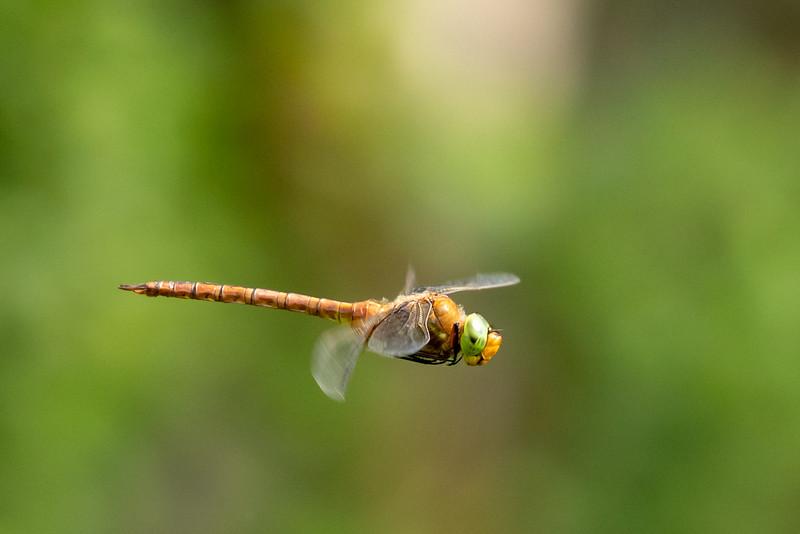 Aeshna isoceles, Green-eyed hawker, Kilepletmosaikguldsmed, male