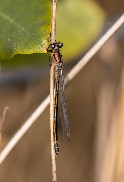 Coenagrion lunulatum, Irish Damselfly, Månevandnymfe, female