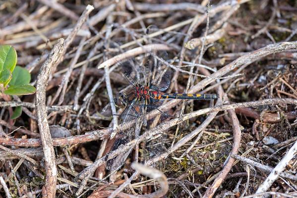 Leucorrhinia dubia, Lille kærguldsmed, Small Whiteface, female