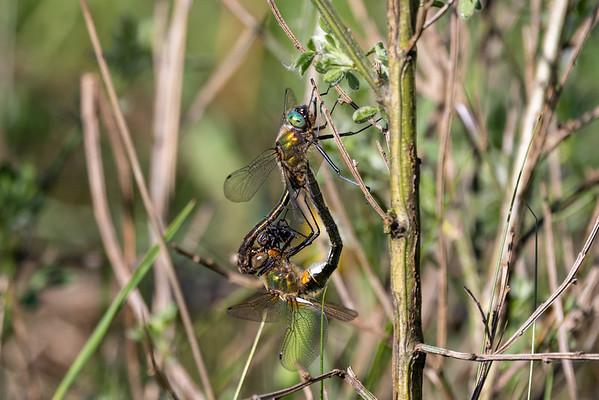Cordulia aenea, Downy Emerald, Grøn smaragdlibel, male and female