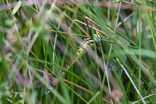 Aeshna viridis, Green Hawker, Grøn mosaikguldsmed, female