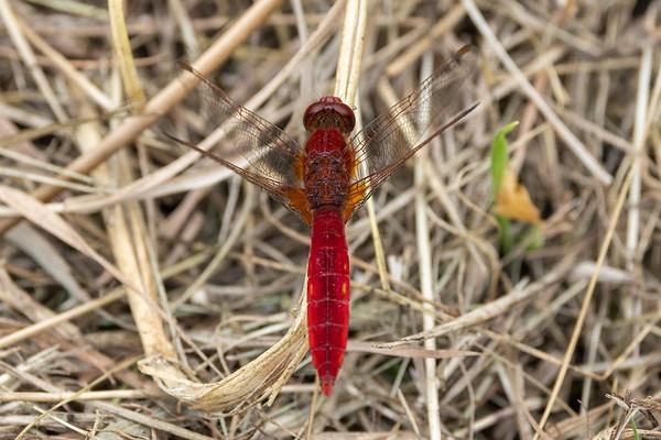 Broad Scarlet, Crocothemis erythraea, Flammelibel, male