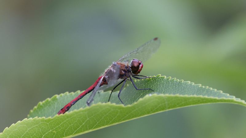 Blodrød hedelibel, Ruddy Darter, Sympetrum sanguineum, male