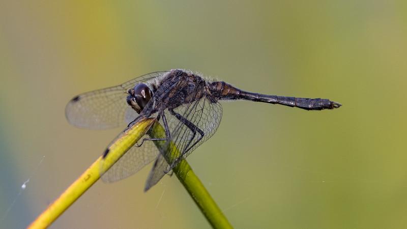Black Darter, Sort hedelibel, Sympetrum danae, male