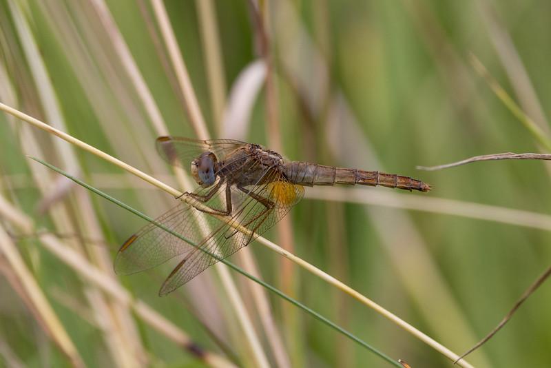 Broad Scarlet, Crocothemis erythraea, Flammelibel, female