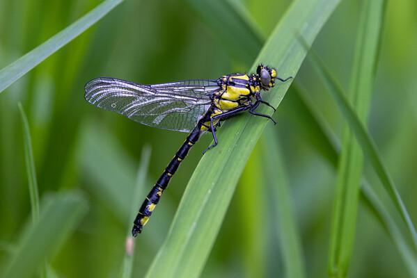 Almindelig flodguldsmed, Common Clubtail, Gomphus vulgatissimus
